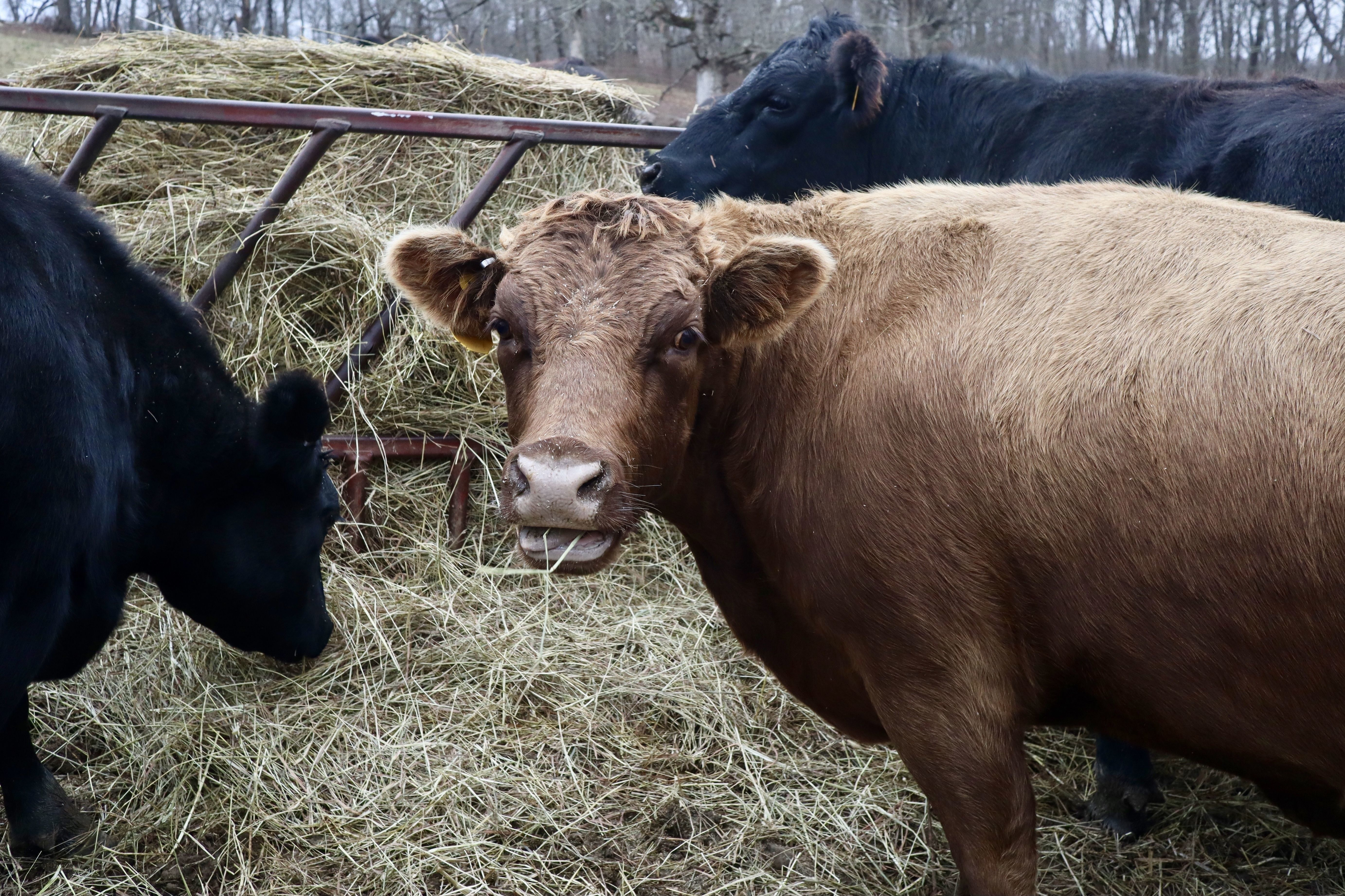 Hay for Grass-fed Livestock