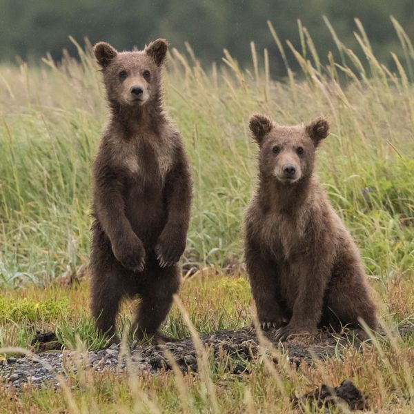 Grizzly Bears Beyond Yellowstone