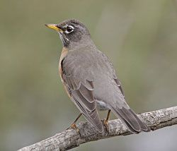 American Robin (Southern subspecies)