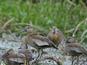 Black-bellied Whistling Duck (juveniles)