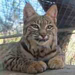 Yemaya the Bobcat