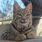 Yemaya the Bobcat