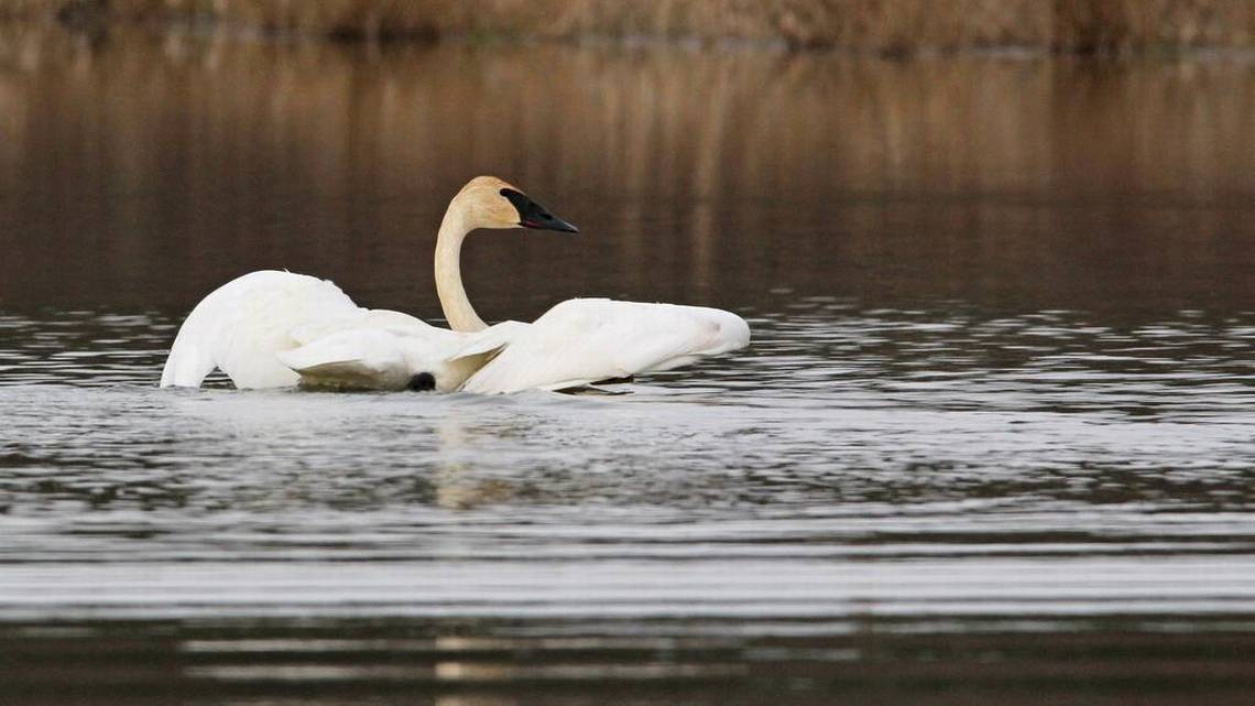 Trumpeter swans pay rare visit to central Pennsylvania