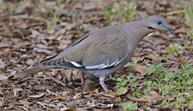 Beak of the Week: White-winged Dove