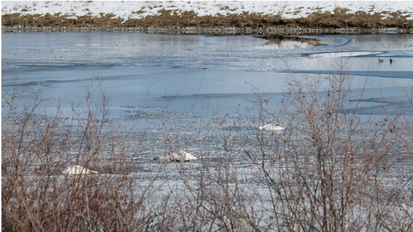 Several Trumpeter Swans shot in Montana's Gallatin County