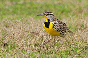 Beak of the Week: Eastern Meadowlark