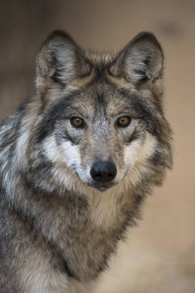 F1219 Cinderella Mexican Gray Wolf Southwest Wildlife Scottsdale Arizona photo by Robin Silver
