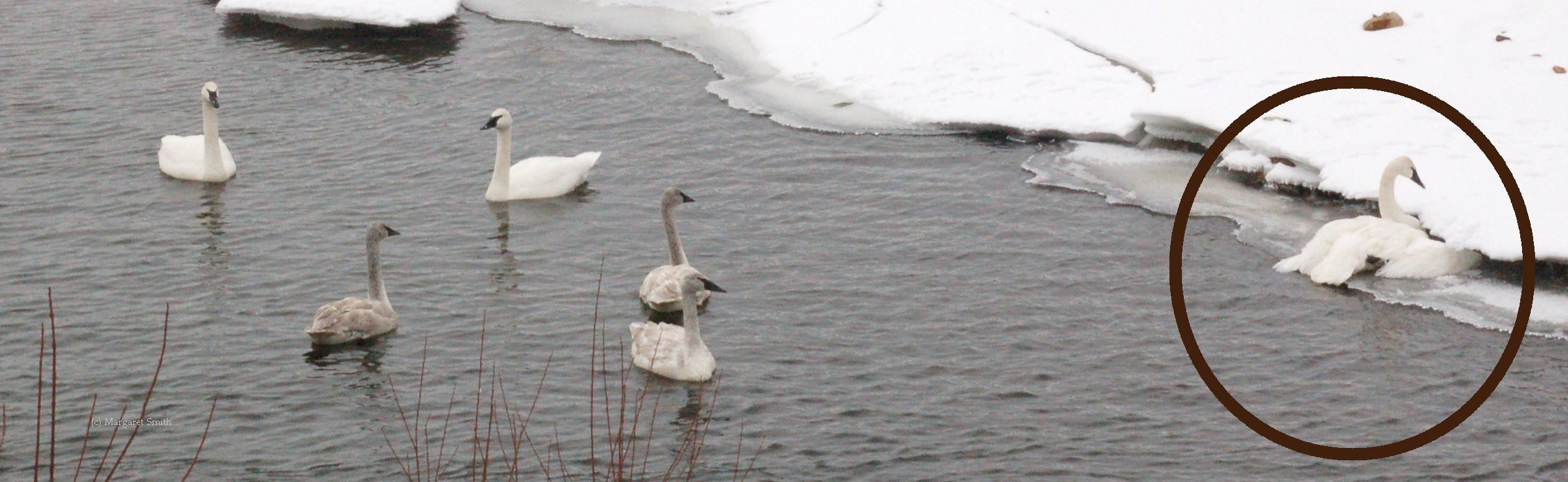 The Trumpeter Swan Society works on swan health issues, including lead poisoning and powerline collisions