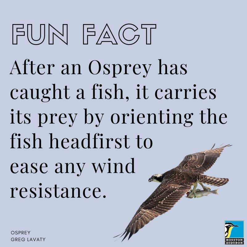 Fun fact about ospreys