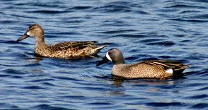 Blue-winged Teals (female and male)