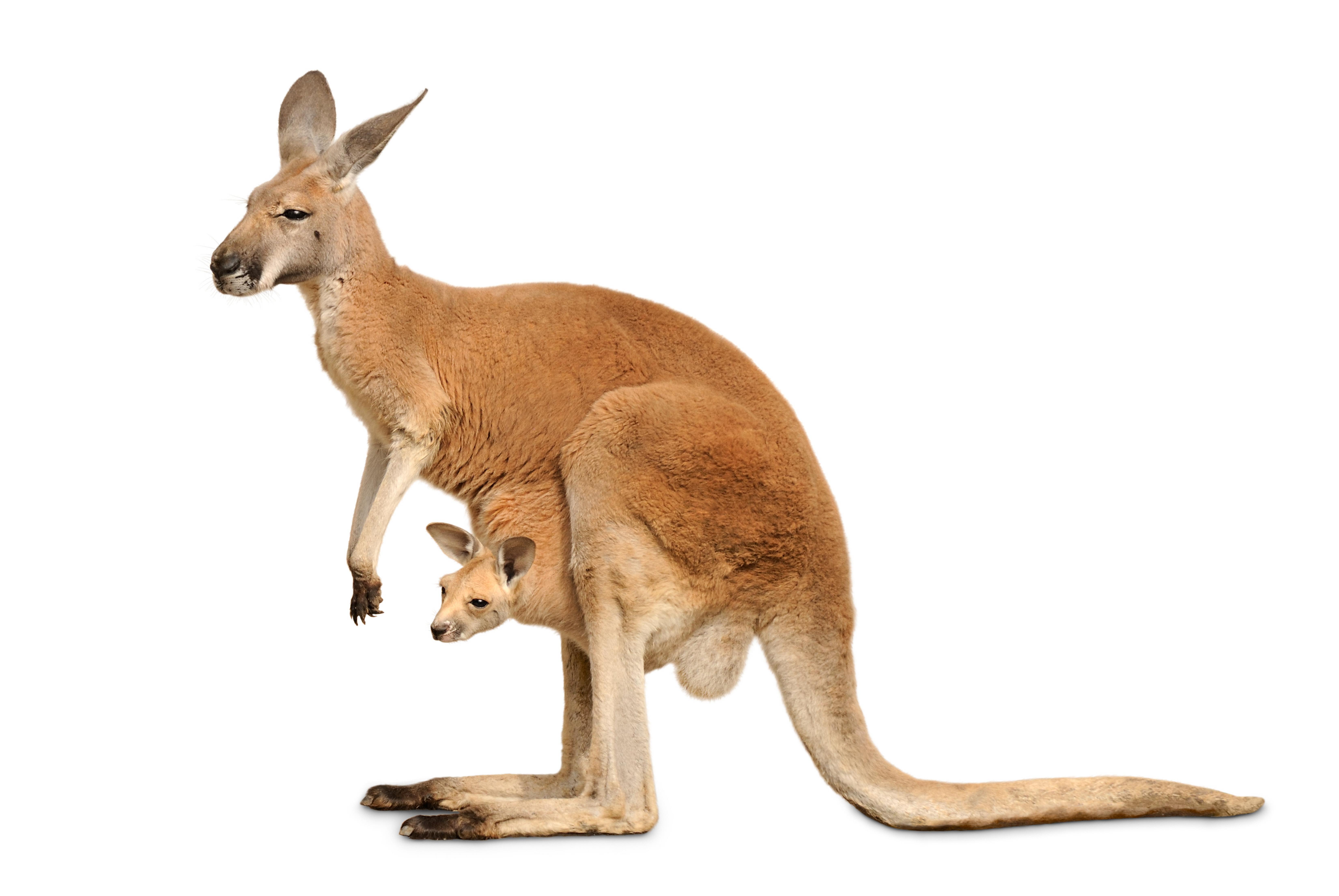 Kangaroo Cutout