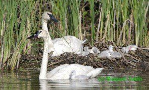 What do Trumpeter Swans need for nesting?