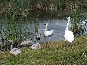 North Dakota Breeding Swans