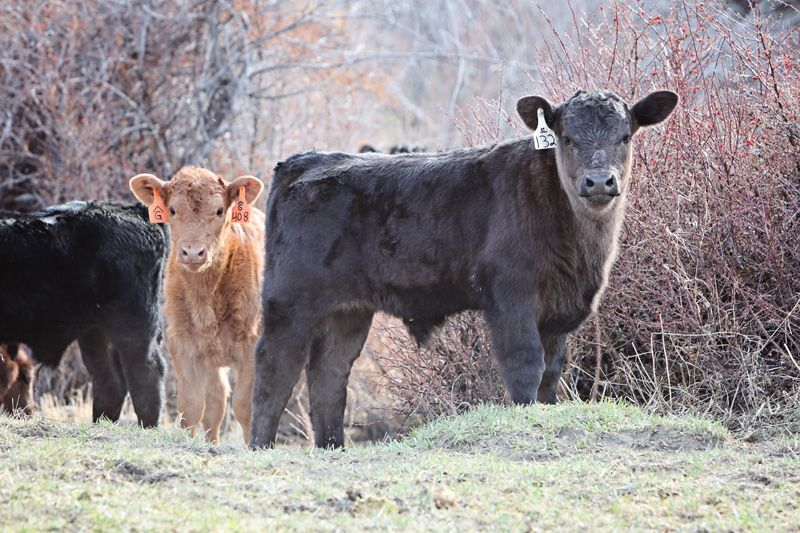 Calves Are Growing And Branding Days Are Here!