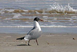 Laughing Gull (adult, breeding plumage)
