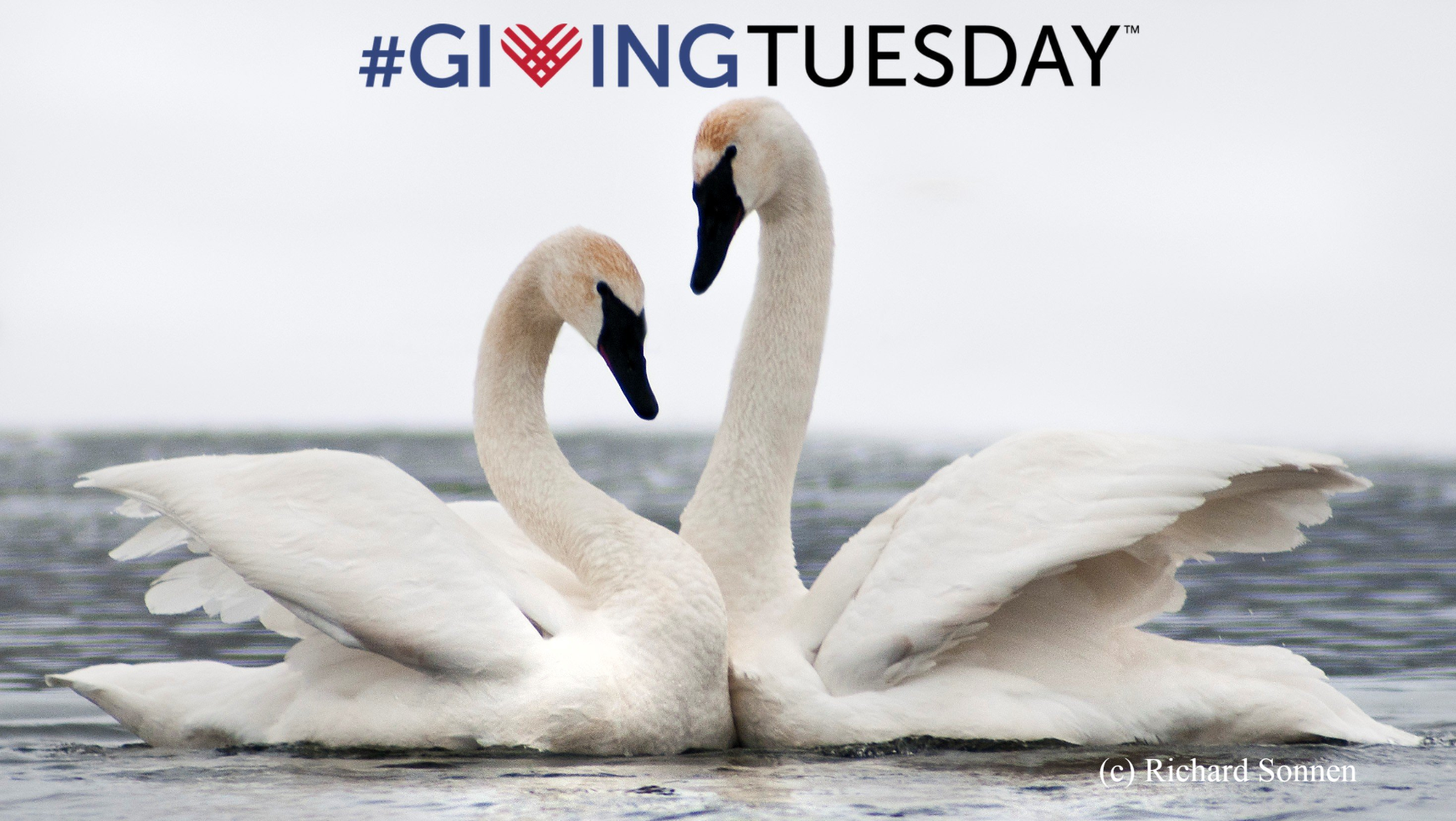 Your #GivingTuesday donation will help Trumpeter Swans across North America. Share the love. Show your love. Give today.