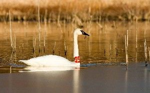"Iowa's story of Trumpeter Swans ""trumpeting the cause for wetlands"""