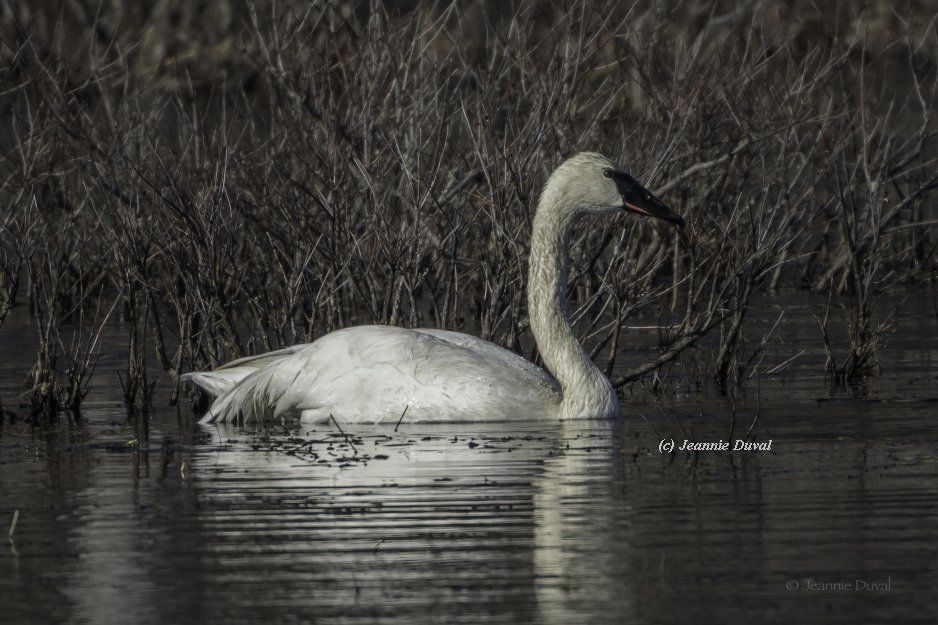 Trumpeter Swan returns to New Hampshire