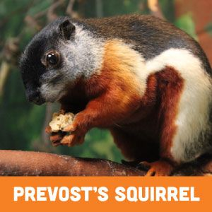 Prevost's Squirrel