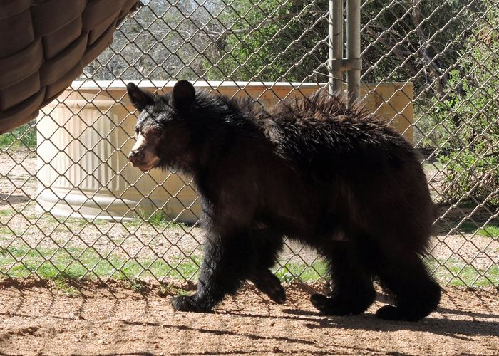 Update on the Injured Bear Cub