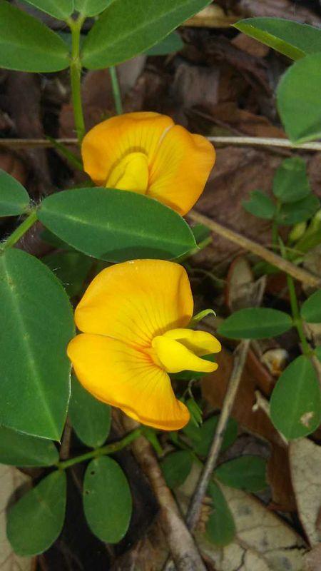 Peanut Bloom