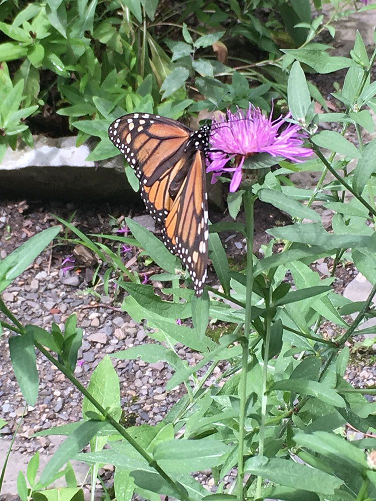 Monarch on Knapweed by Marianne Cappillino