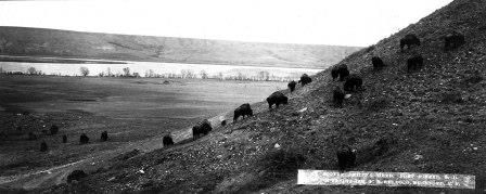 """""""Scotty Philip's Buffalo Herd"""" photo display at Cultural Heritage Center"""