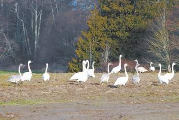 PENINSULA TRUMPETER SWAN PELTED WITH SHOT, KILLED; FIVE DEAD SINCE NOVEMBER