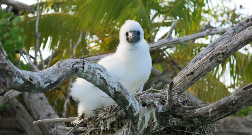 Bird poop helps keep coral reefs healthy, but rats are messing that up