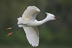 Snowy Egret (breeding plumage)