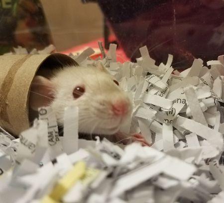 Pet Rats!