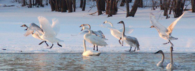 Trumpeter Swan sunset takeoff