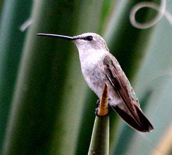 Black-chinned Hummingbird female
