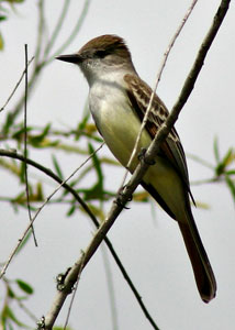 Beak of the Week: Great Crested Flycatcher
