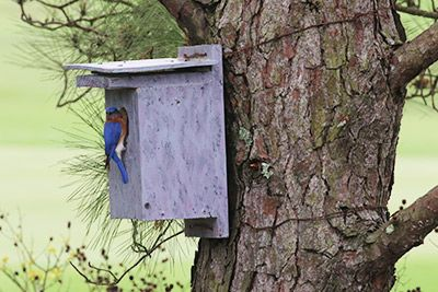 Eastern Bluebird: A Backyard Nest Box