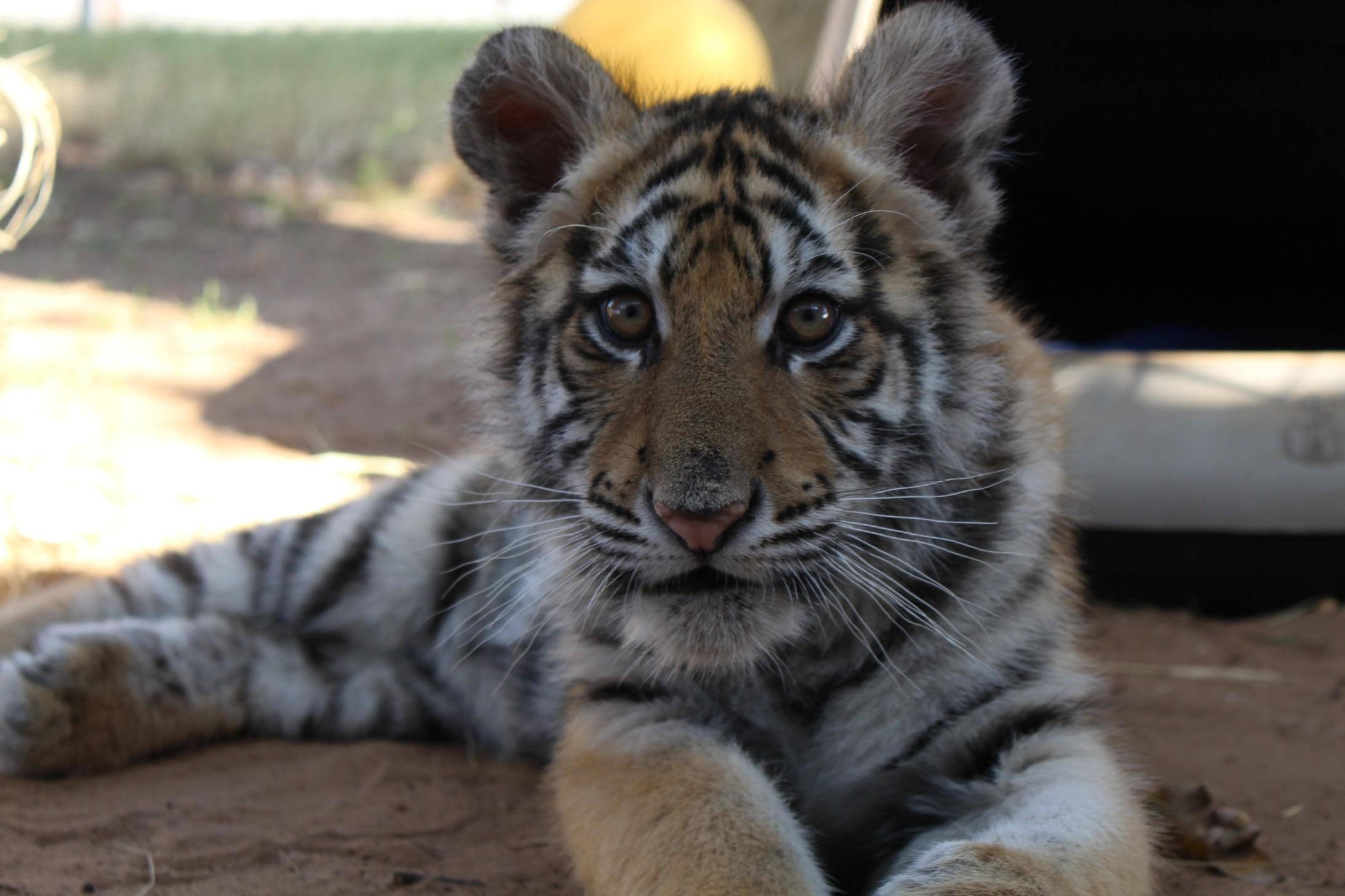 Mika the tiger cub