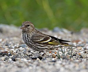 Beak of the Week: Pine Siskin