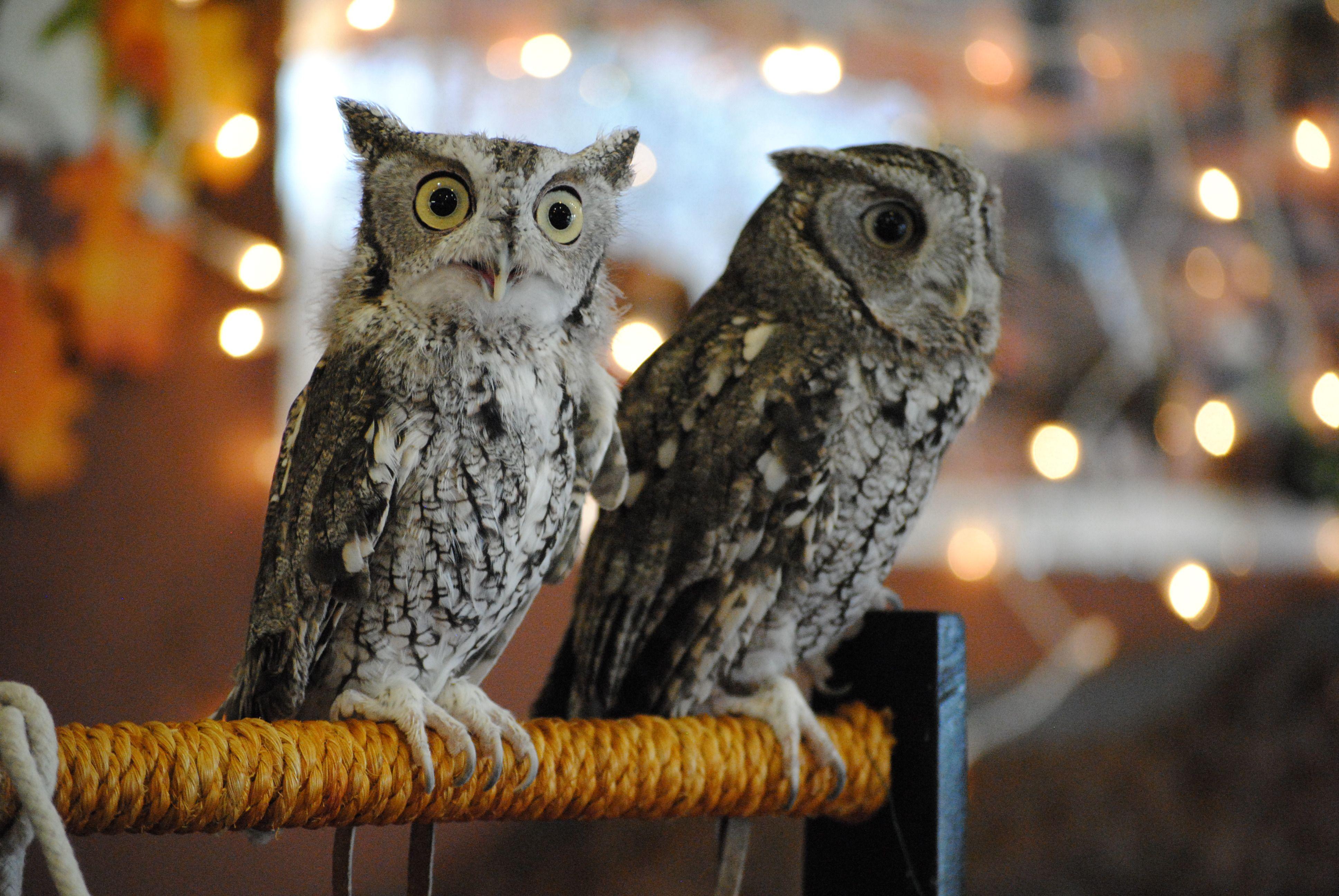 Screech Owls