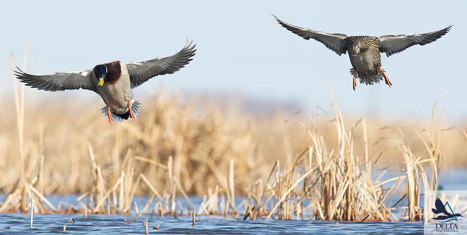 Delta Waterfowl Wallpaper West dakota waterfowlers