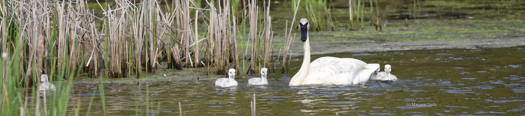 Your tax deductible donation shows your love for swan conservation