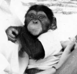 Washoe as an infant