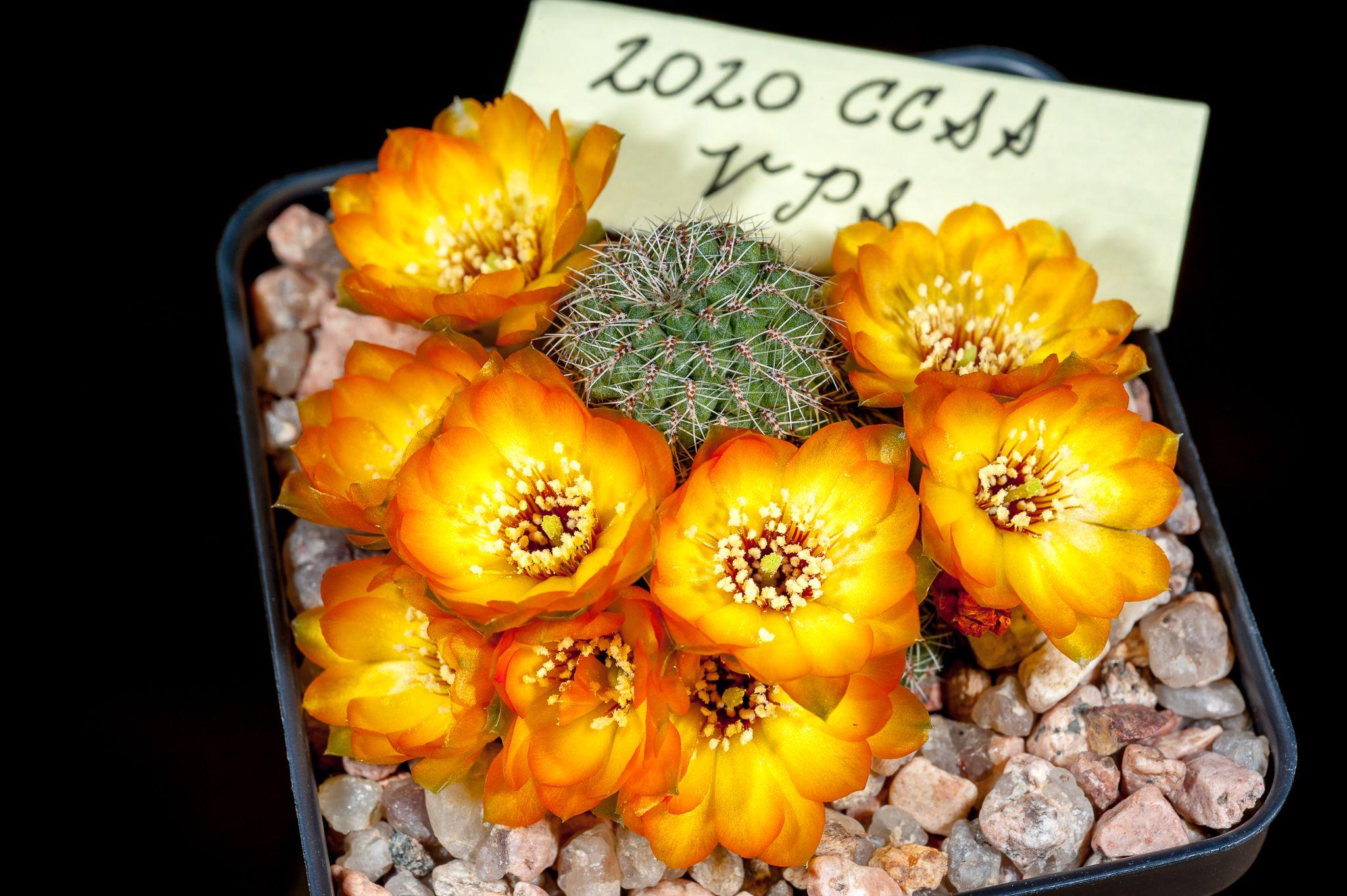 Sulcorebutia callecallensis L389