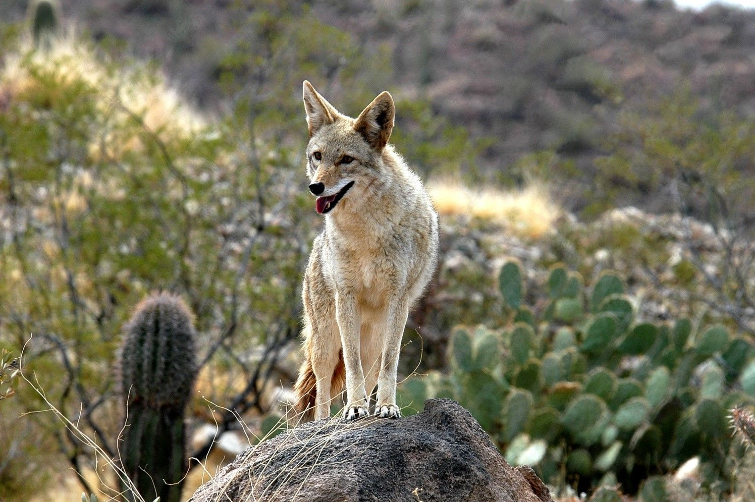 WOLVES & COYOTES
