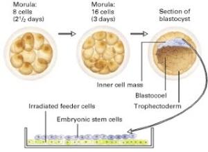 A picture of Mammalian embryonic development