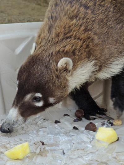 Peanut the coatimundi sniffs around an ice-filled plastic pool for tasty treats like grapes and chunks of pineapple