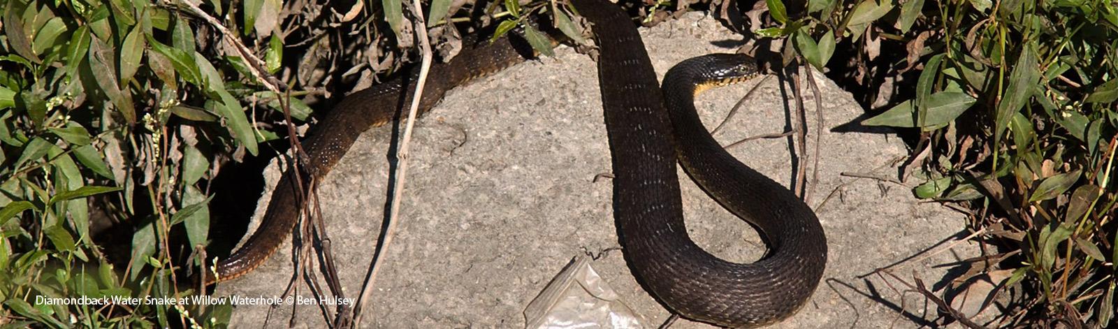 Snakes of Houston   Programs   Houston Audubon