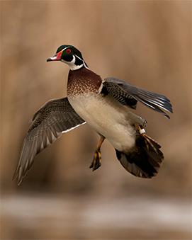 5 Ways to Take More Wood Ducks