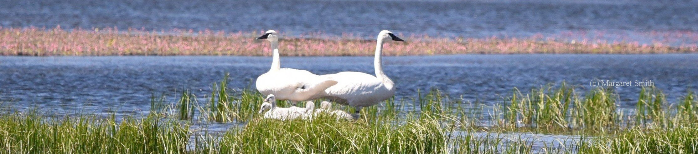 Your Swan Gift Shop purchase helps support swan conservation programs of The Trumpeter Swan Society