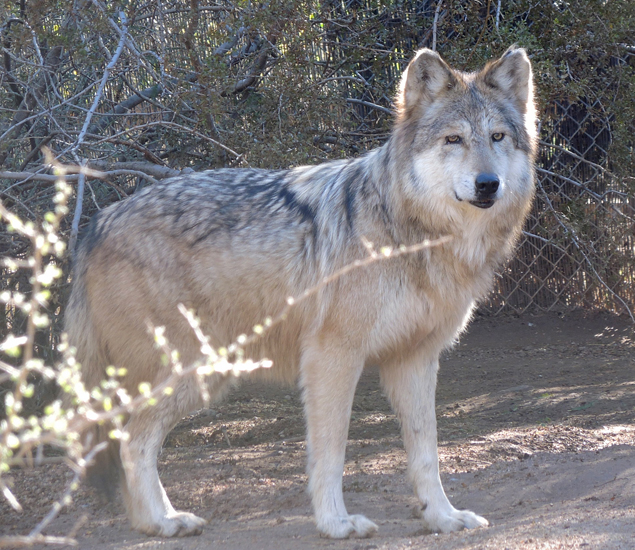 Goodbye Mexican wolf Winema