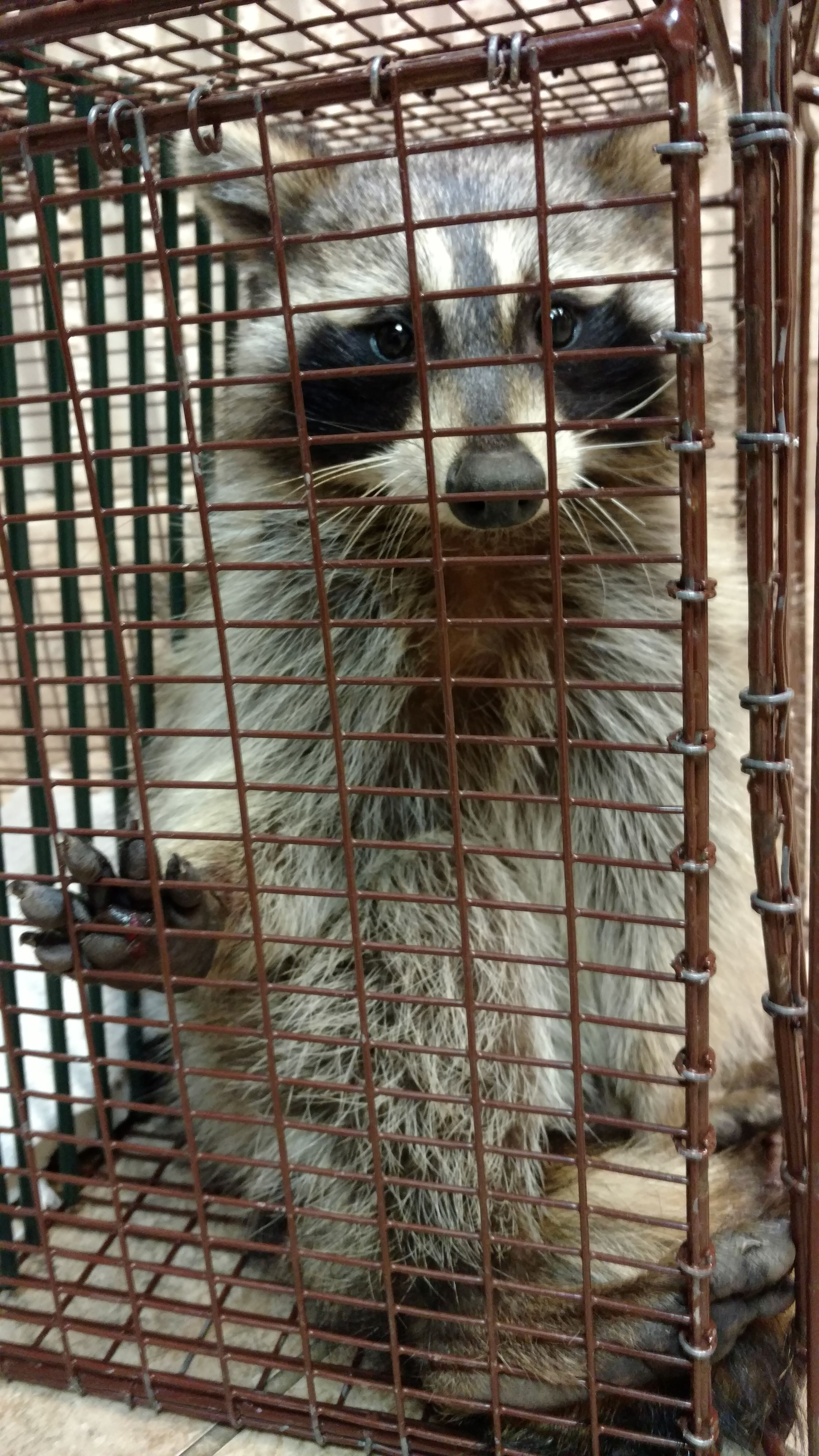 Raccoon Rescued from Leghold Trap